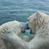 "Cindy L. Kelly, ""Polar Bears at Columbus Zoo,"" 2012"